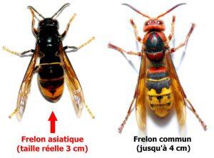 frelon-asiatique